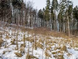 Birken als Pionierbäume auf Kahlschlag