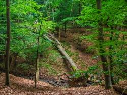 umgestürzte Altbuche im Bachtal