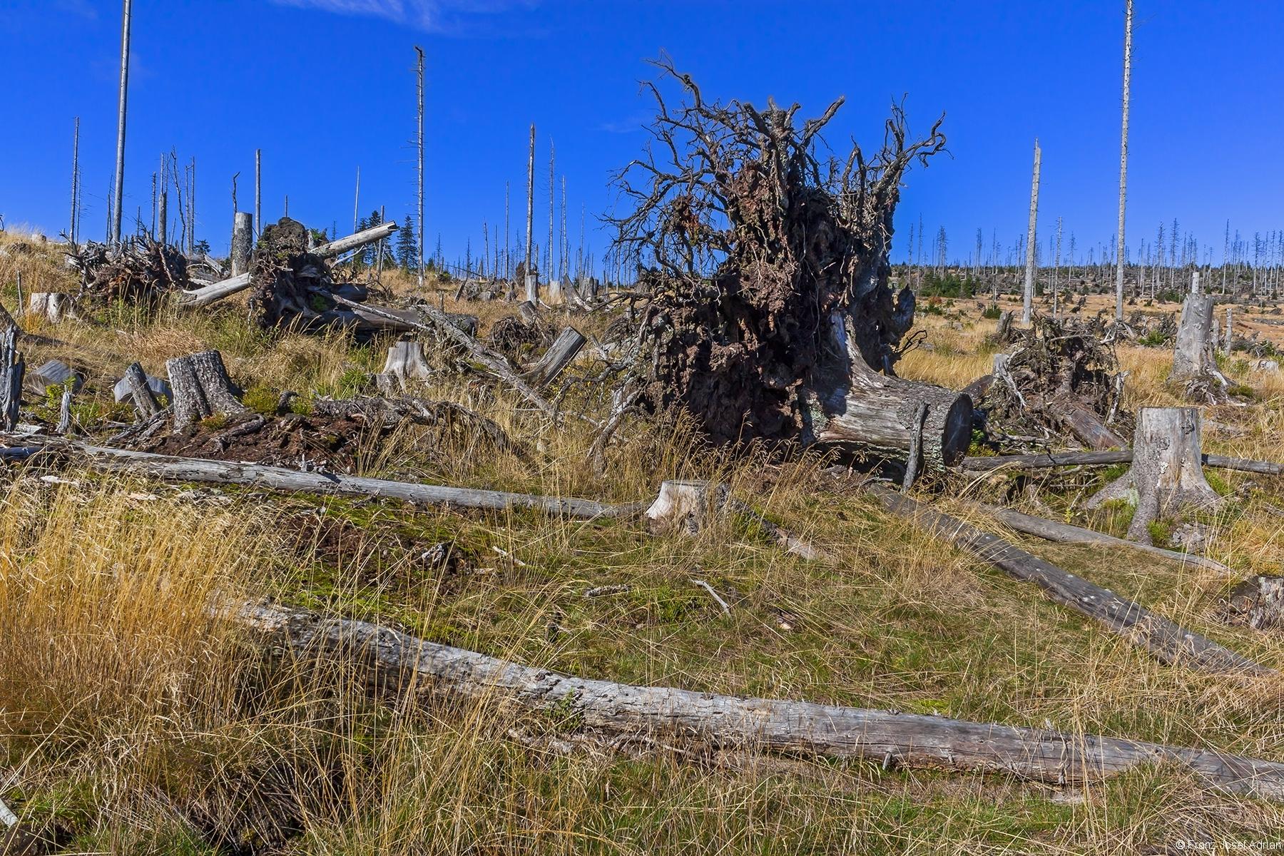 geräumter Windwurf am Bampferfleck