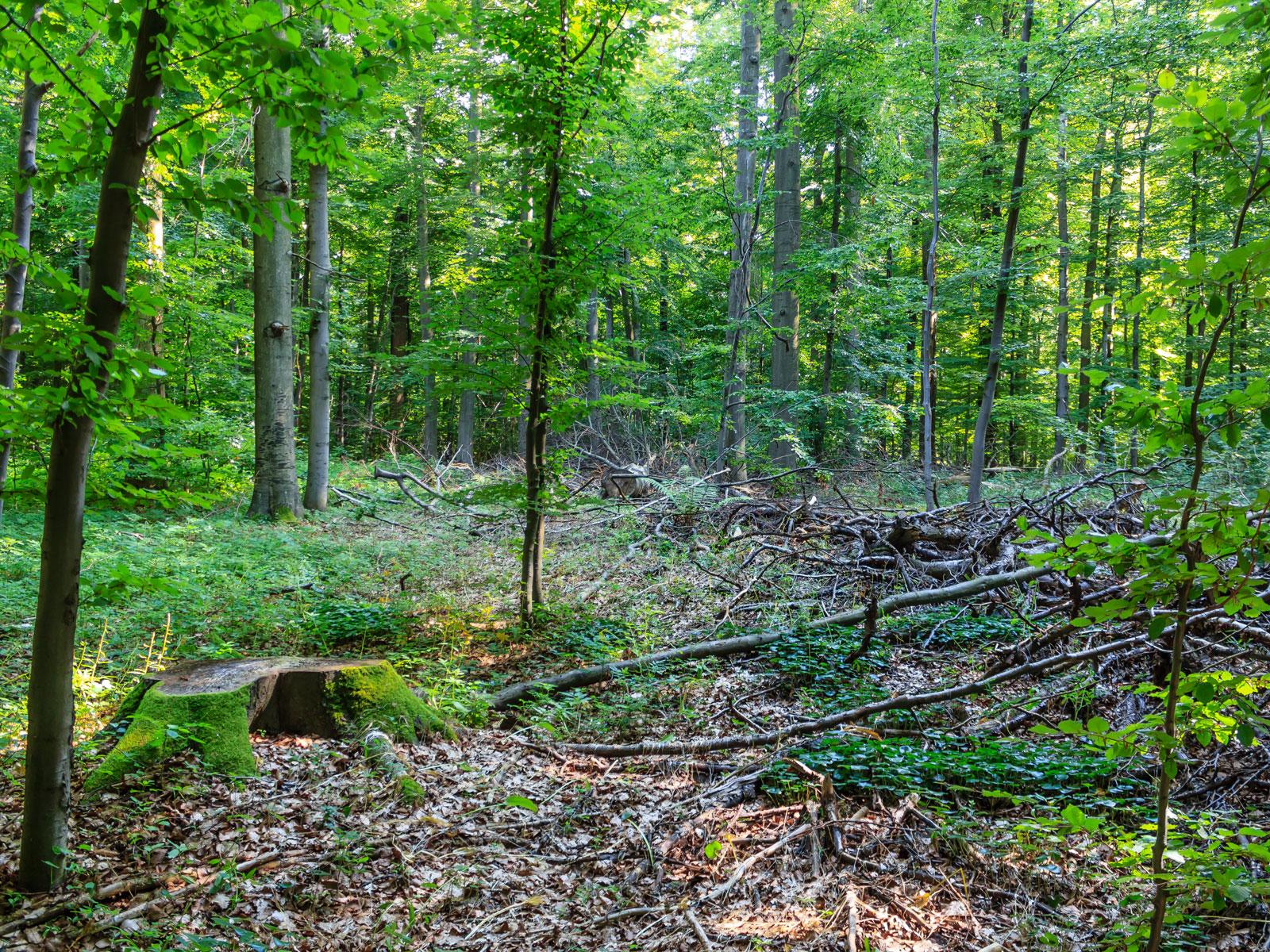 Baumstumpf und Kronenholz