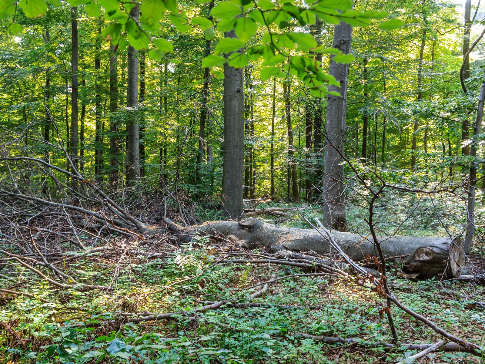 Kronenholz im Wirtschaftswald