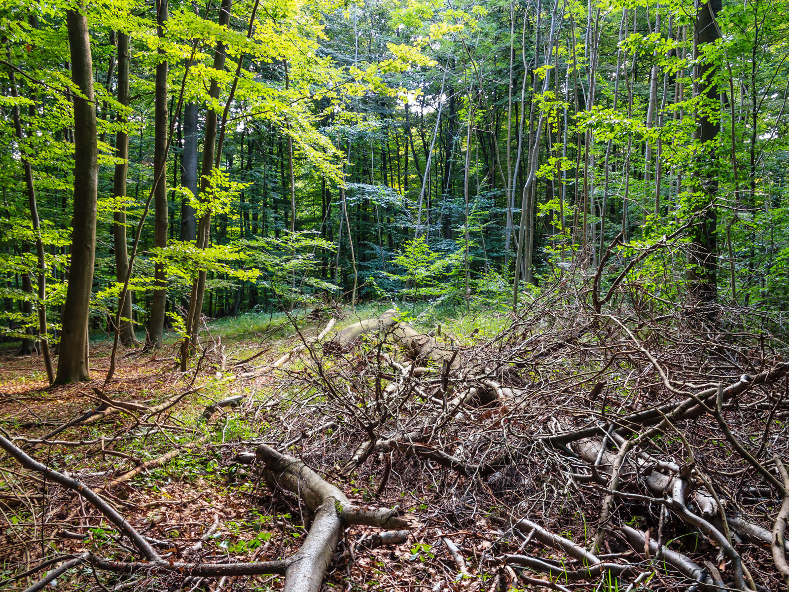 im Wald belassenes Kronenholz