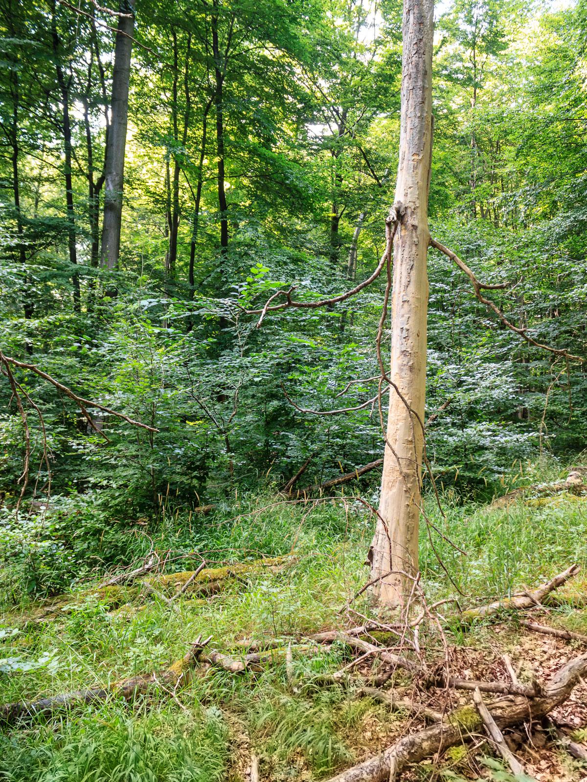 stehender Biotopbaum