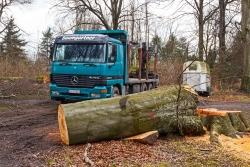 Holztransporter der Firma Baumgartner neben gefällter Altbuche