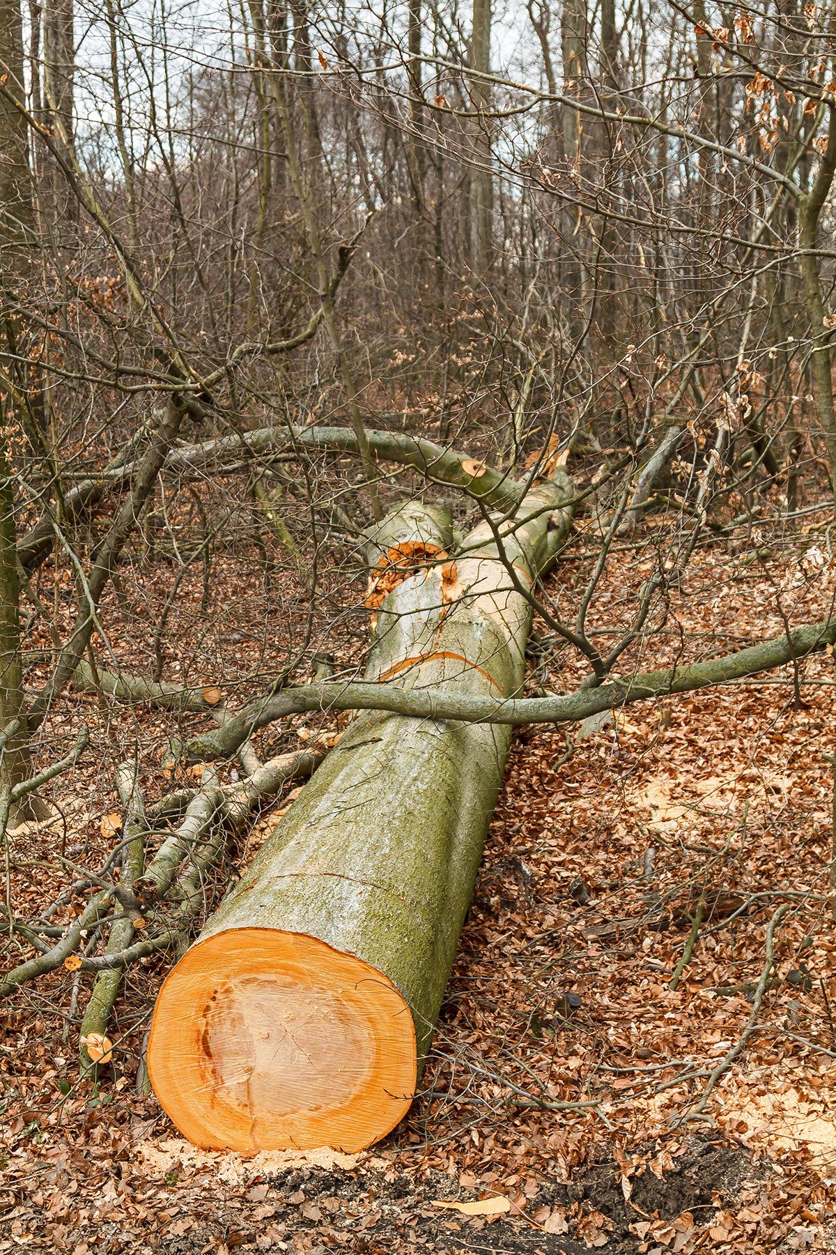 gefällter Baum mitten im Buchenjungwuchs