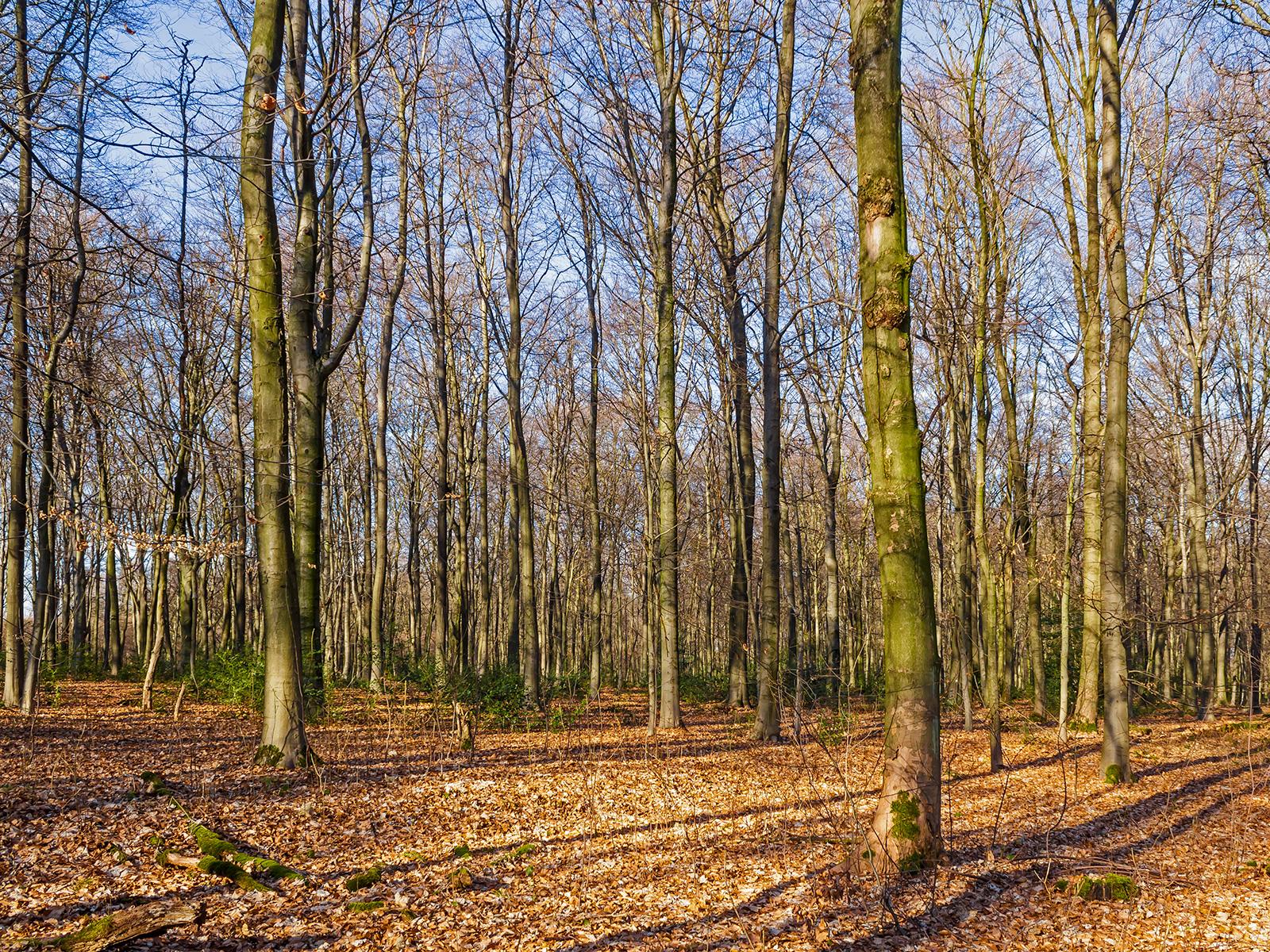 Altersklassenwald im Köllnischen Wald