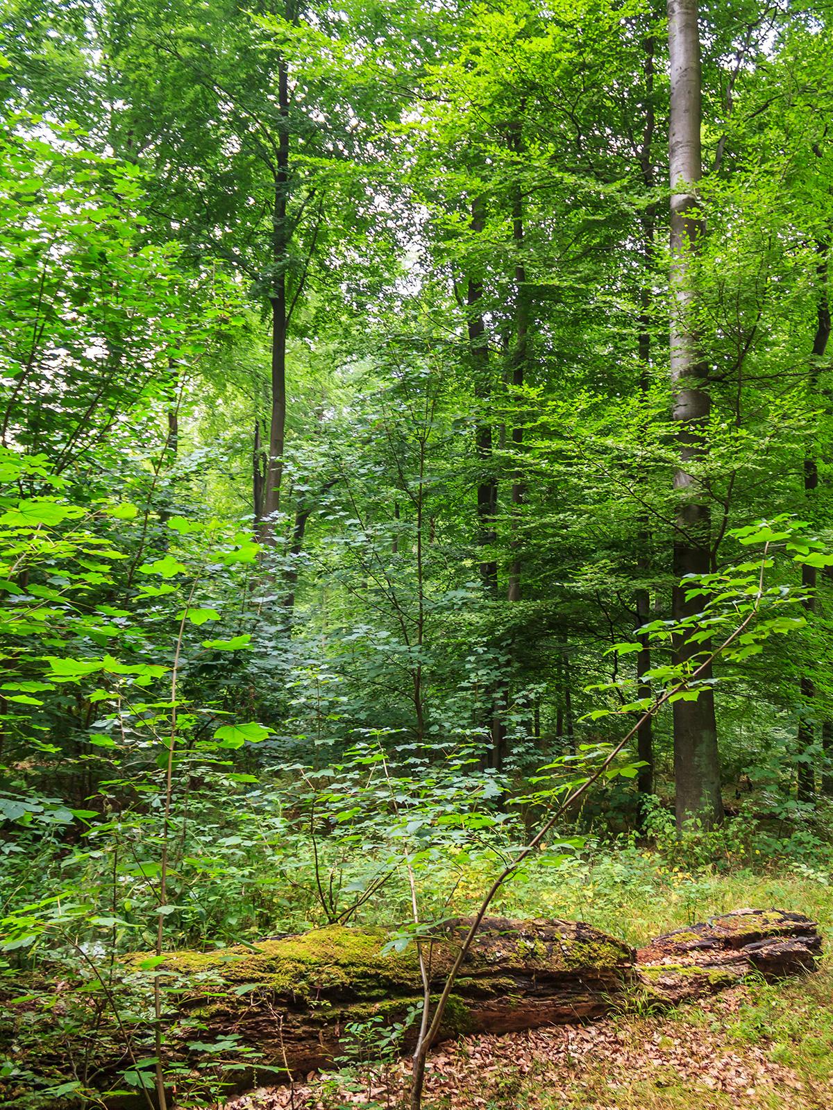 liegendes Totholz inmitten von Ahornverjüngung