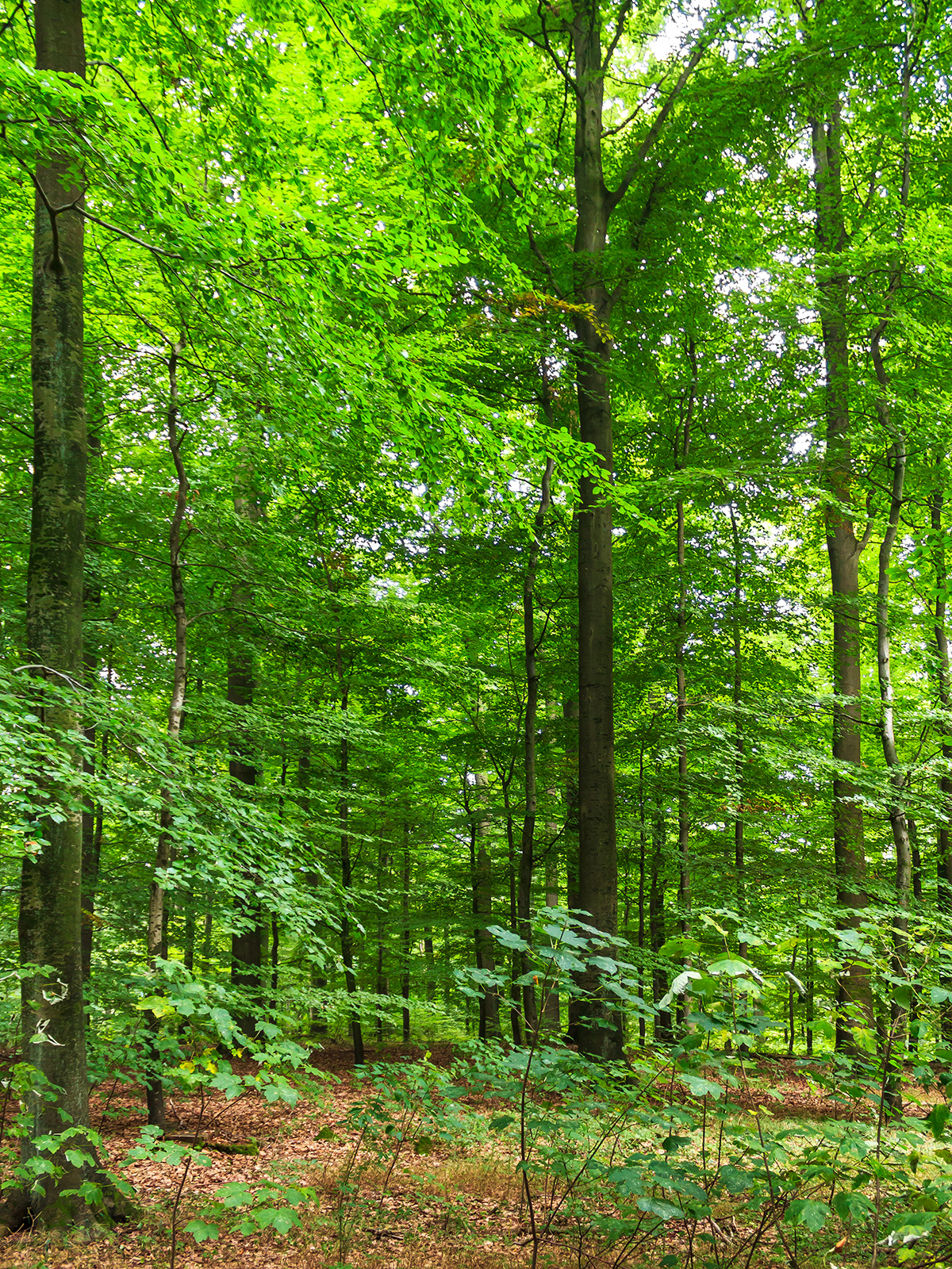 gradschaftige, astreine Altbuchen mit wervollem Holz