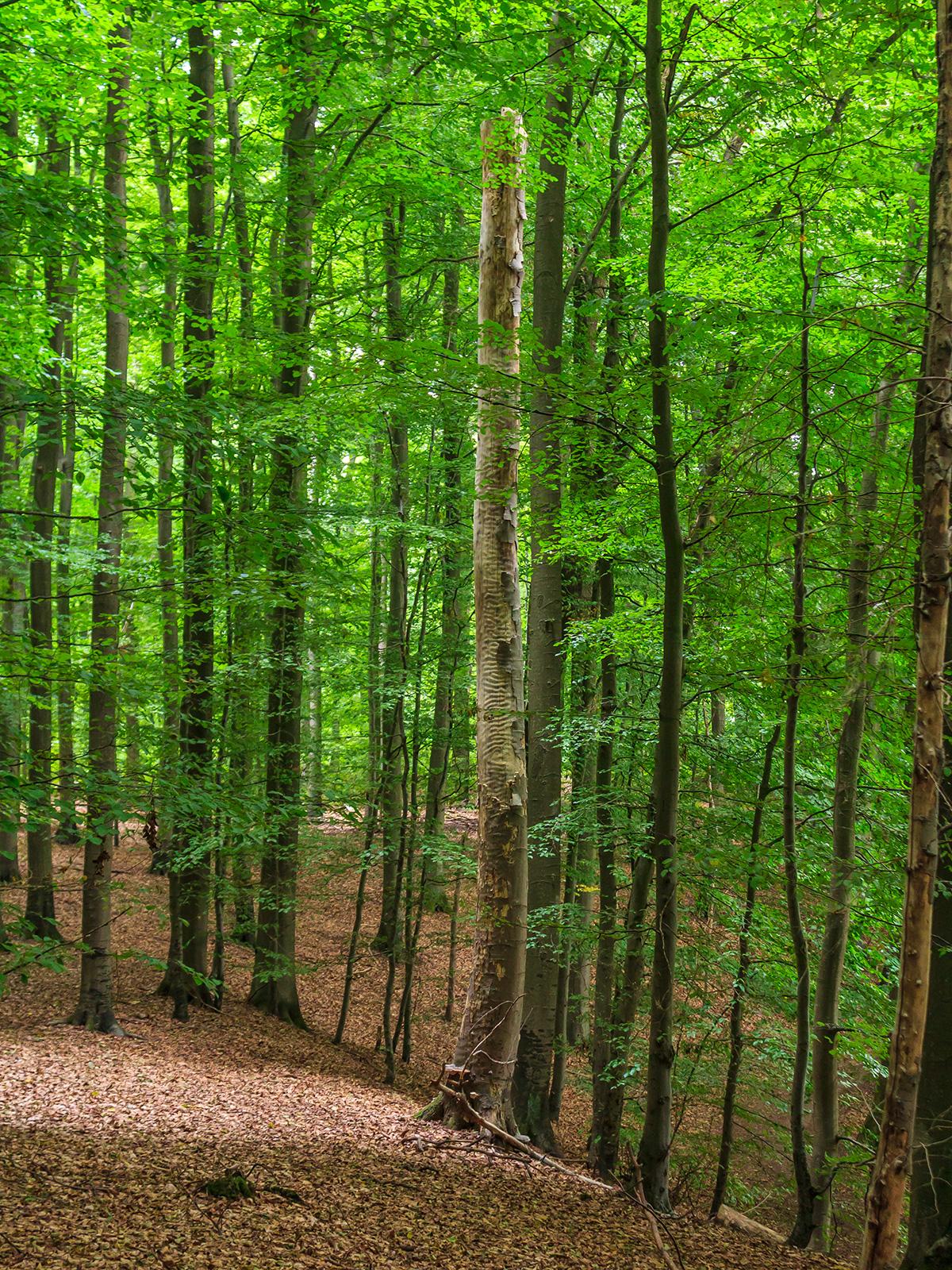 stehendes Totholz im Buchenhallenwald