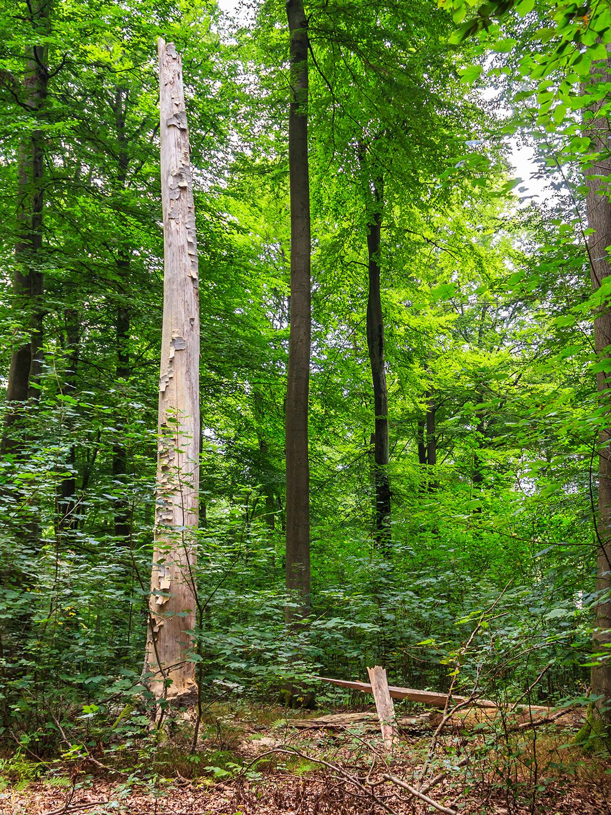 Ahornverjüngung um Biotopbaum