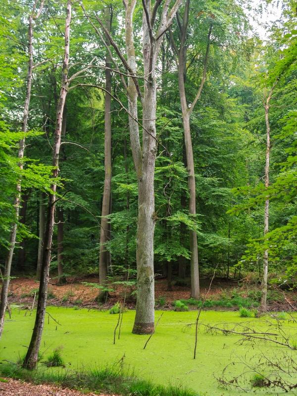Erlenbruchwald mit abgestorbener Eiche