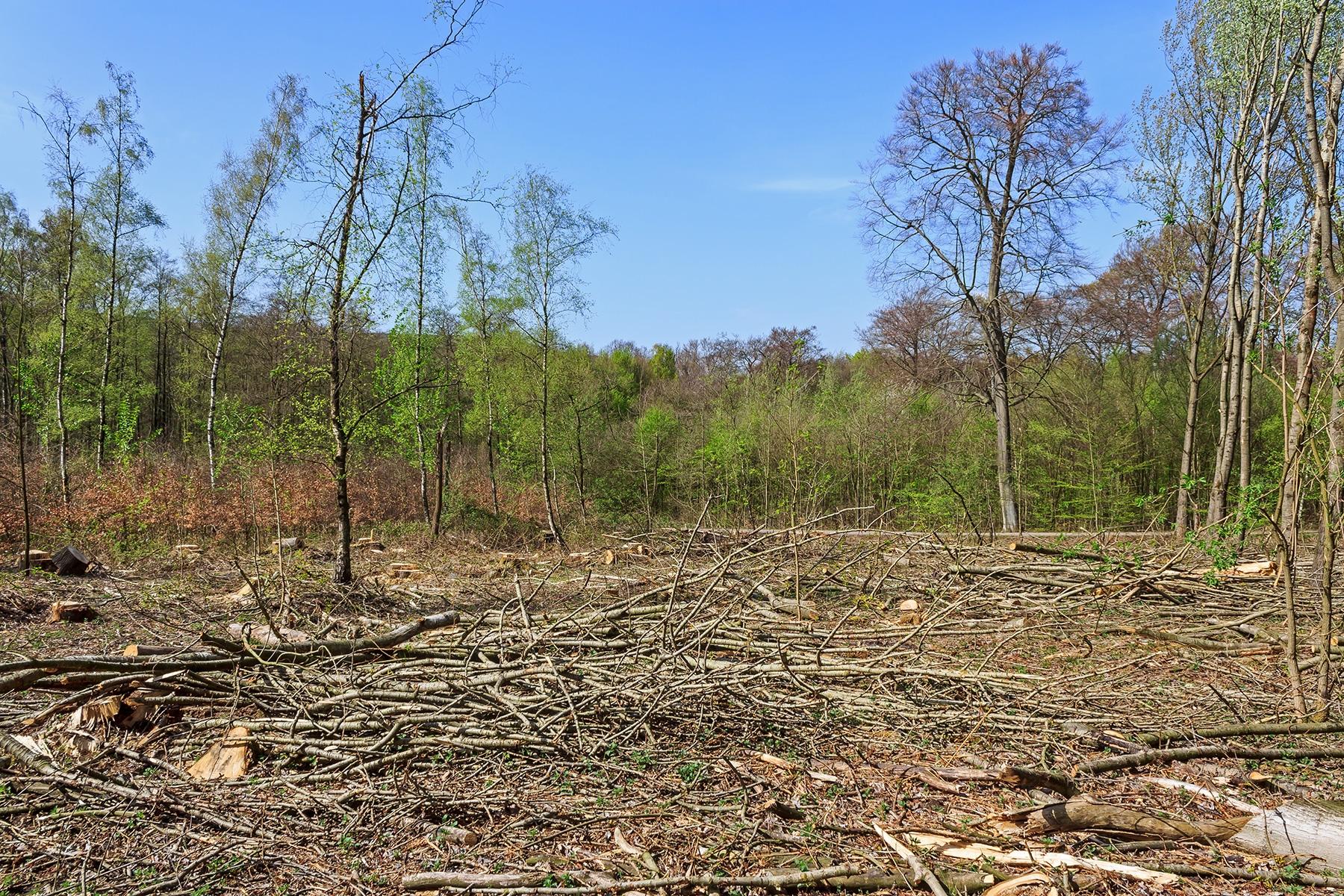 0,25  ha großer Kahlschlag von Pappeln im FFH-Gebiet