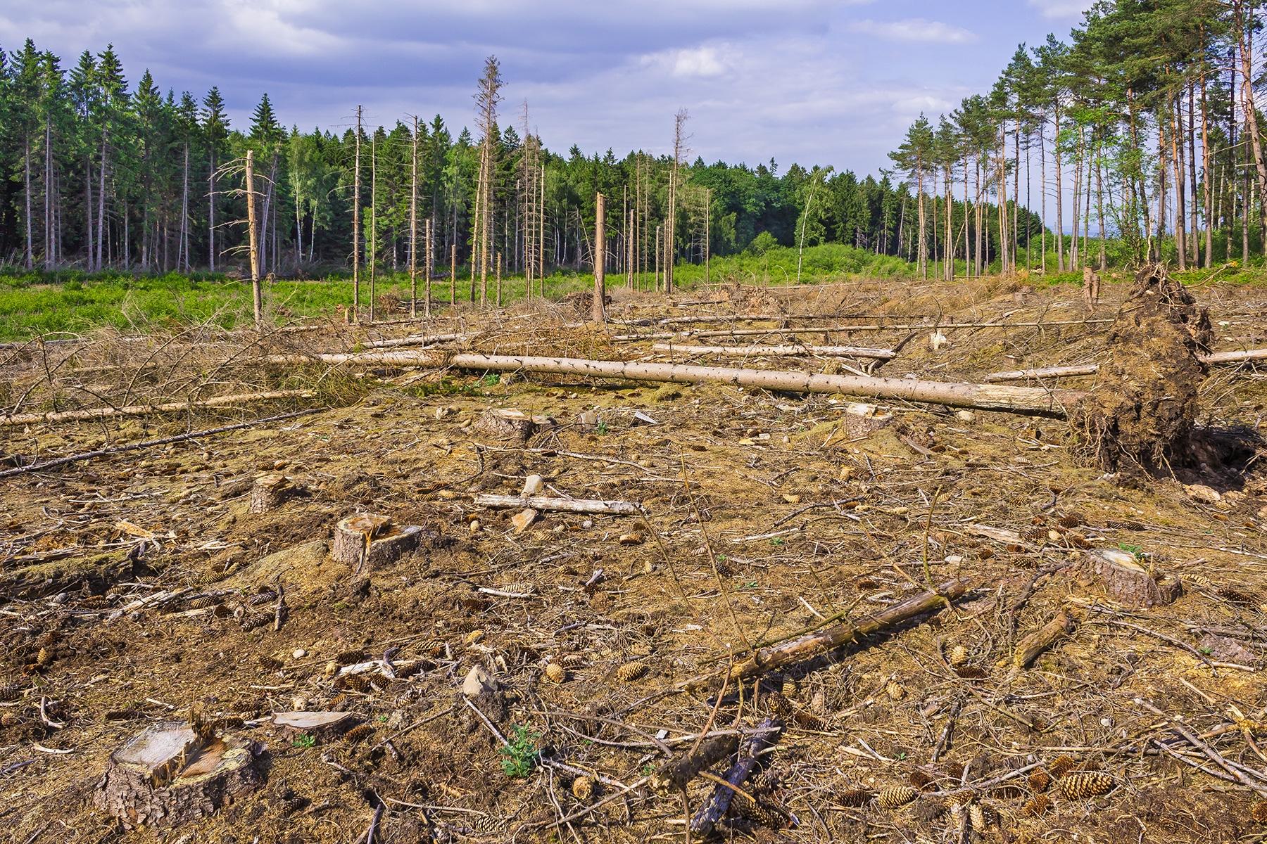 einige wenige abgestorbene Fichten als Alibi-Totholz