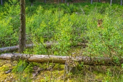 junge Birken im Bachtal, im Hintergrund Kiefern