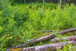 Birken-Vorwald statt Auenwald