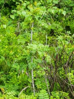 kurz und klein gebissene Vogelbeere