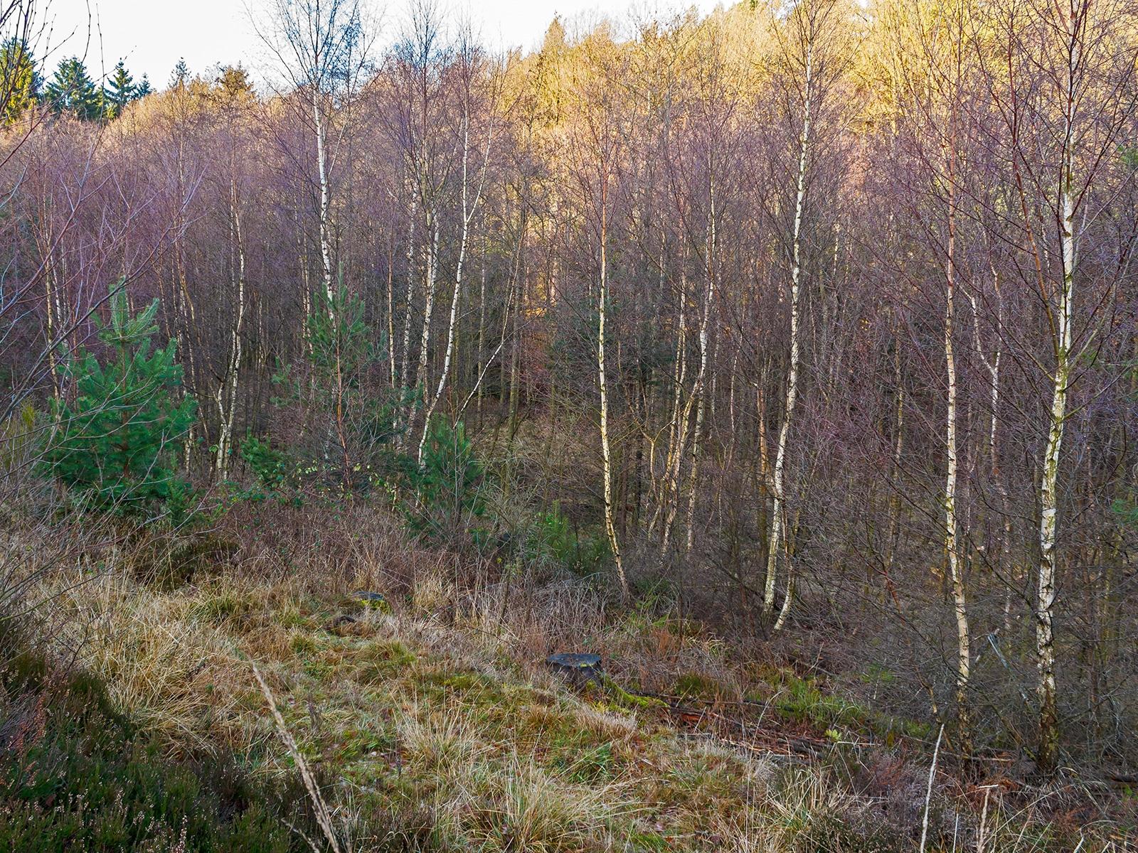 alter Birken-Vorwald mit Kiefern unterwandert