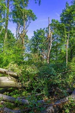 umgeworfene Altbuchen im Schirmschlag-Wald