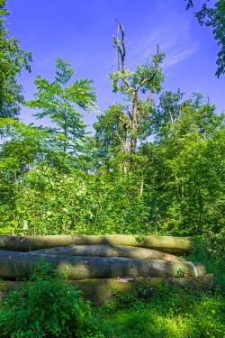 abgebrochene Eichenkrone vor altem Holzpolter