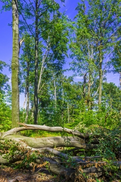 umgeworfene Altbuchen quer über dem Forstweg