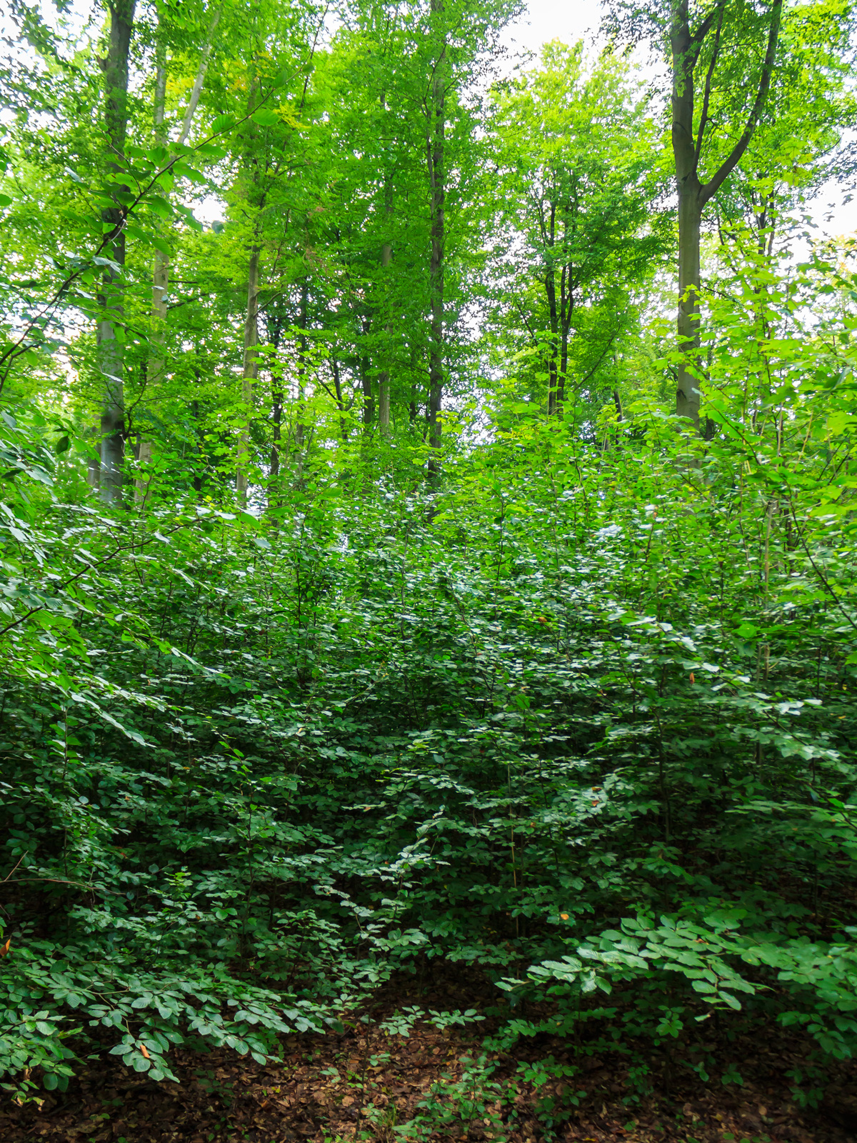zweischichtiger Altersklassenwald aus Oberbestand und Unterstand