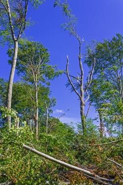 Ruinen von Überhältern im Schirmschlag-Wald