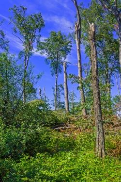 abgebrochene Eichen- und Buchenkronen im Schirmschlag-Wald