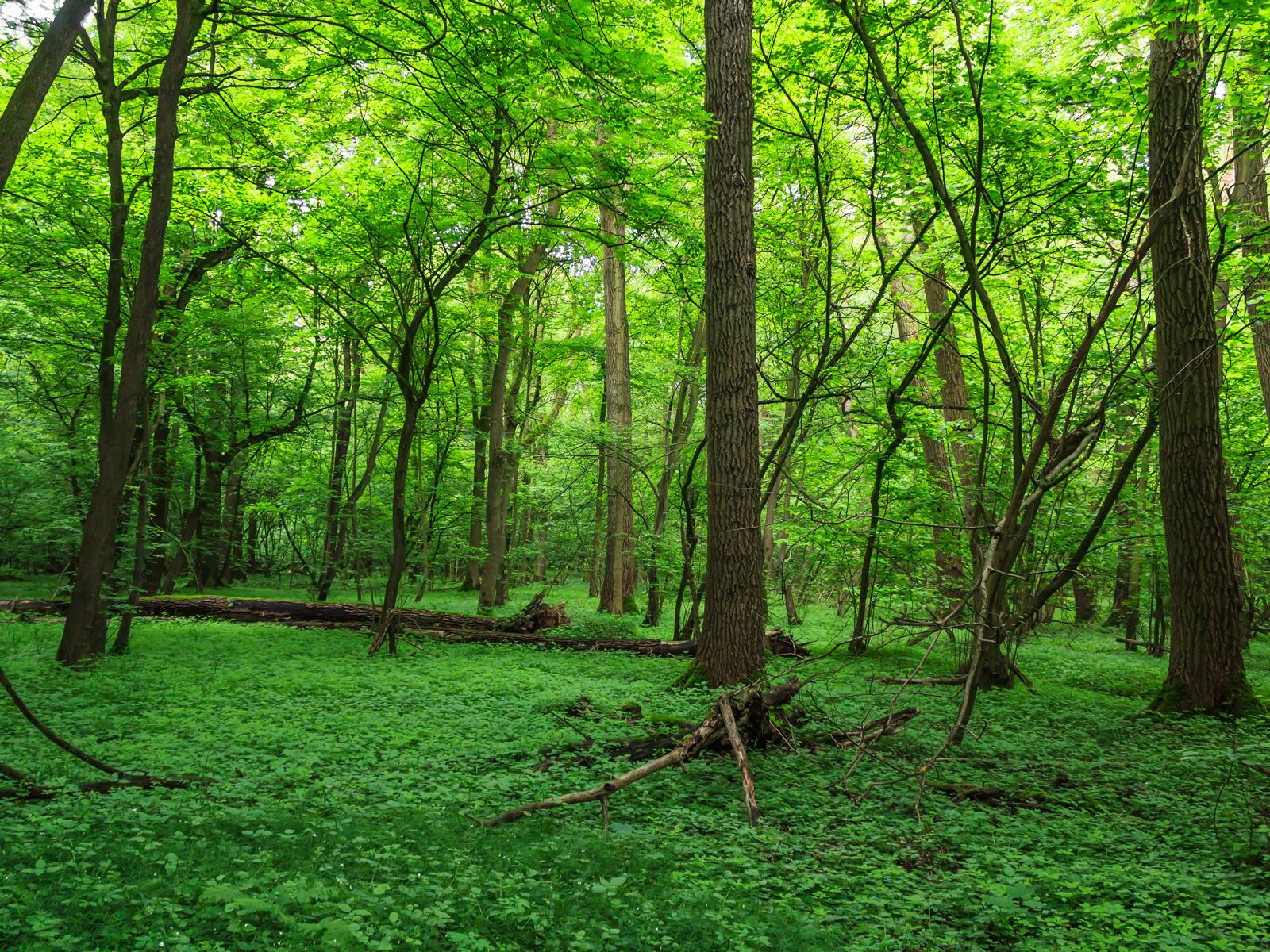 Toholz in Eichen-Hainbuchen-Wald