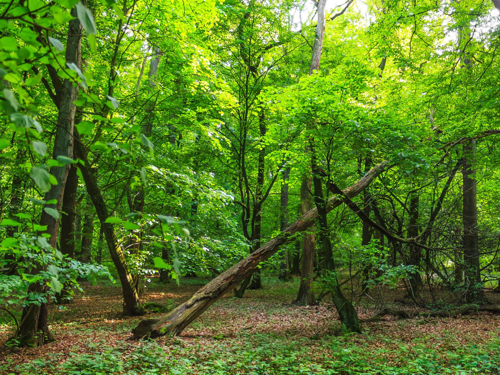 Totholz im Mischwald mit Linden