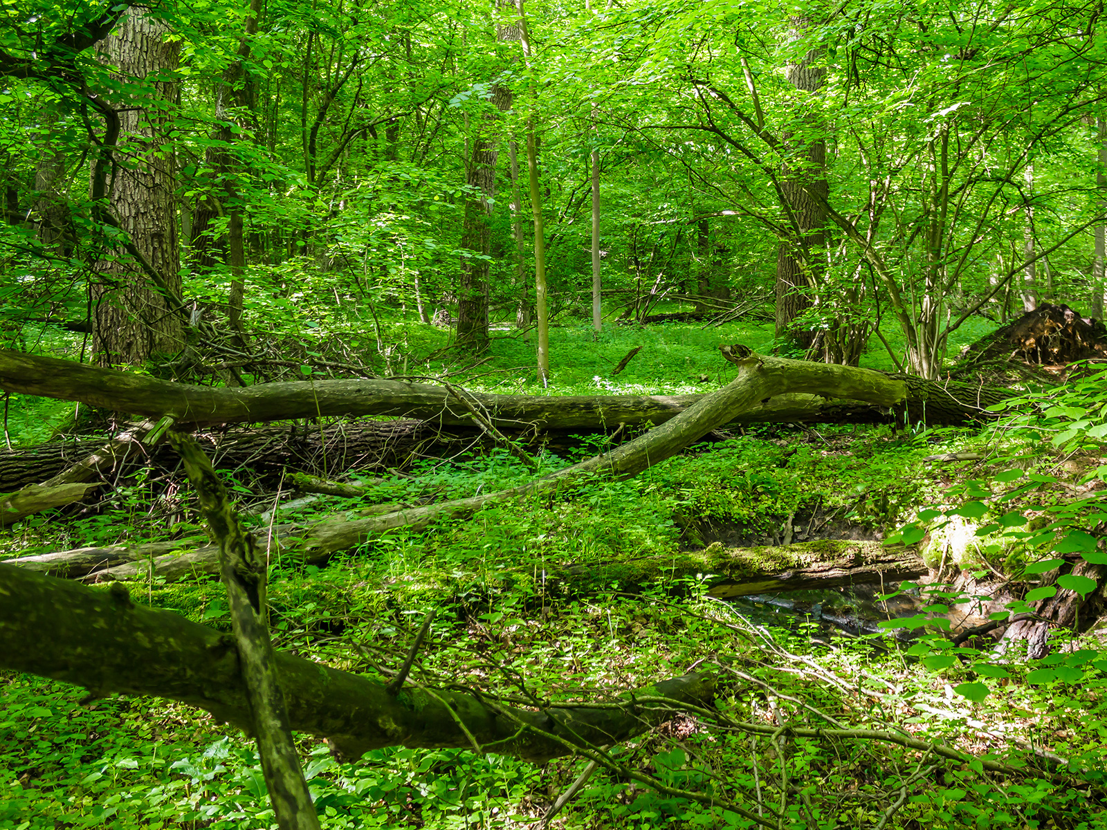 liegender tote Eichen unter Linden