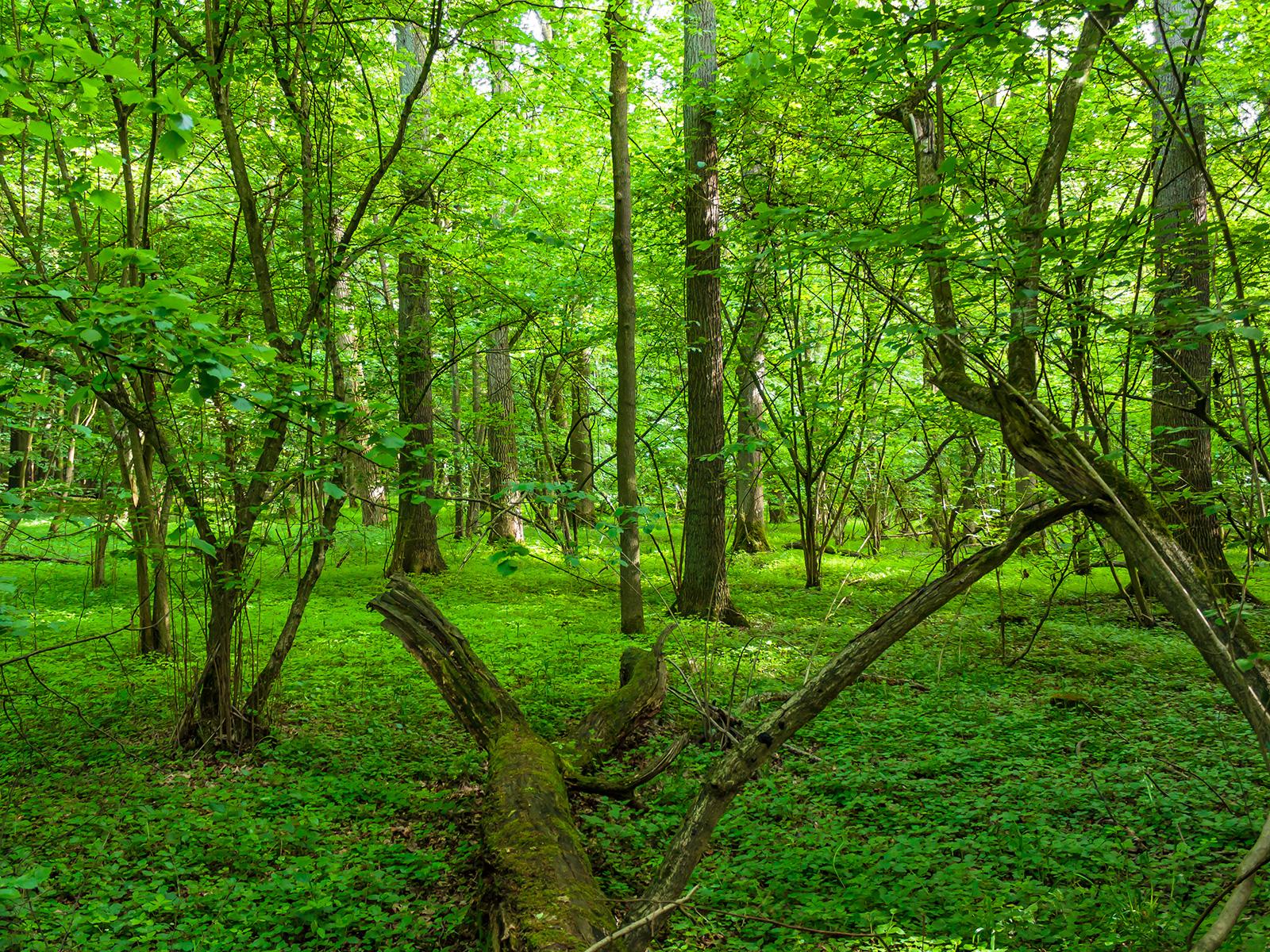Totholz im Mischwald aus Eichen, Buchen und Linden