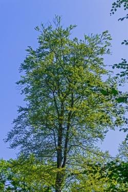 Schadstufe 2: durchsichtige Krone, Dürräste außen