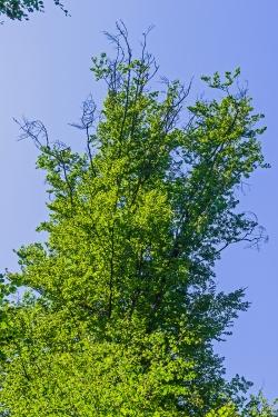 Schadstufe 2: große Teile der oberen Krone abgestorben