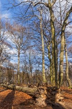 liegender starker Totbaum mit Wurzelteller und Krone