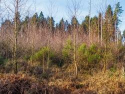 Birken-Vorwald auf Fichten-Windwurf nahe dem Ende der Rückegasse B