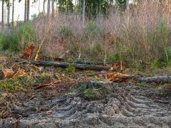 durch rabiates Rücken geschädigter Birken-Vorwald am Wanderweg