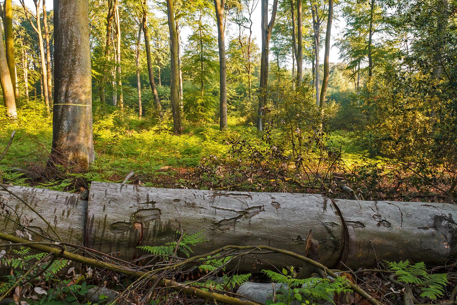 gefällte Altbuche im Bottroper Stadtwald