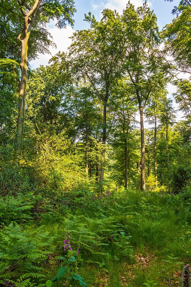Roter Fingerhut auf Kleinkahlschlag im Schellenberger Wald