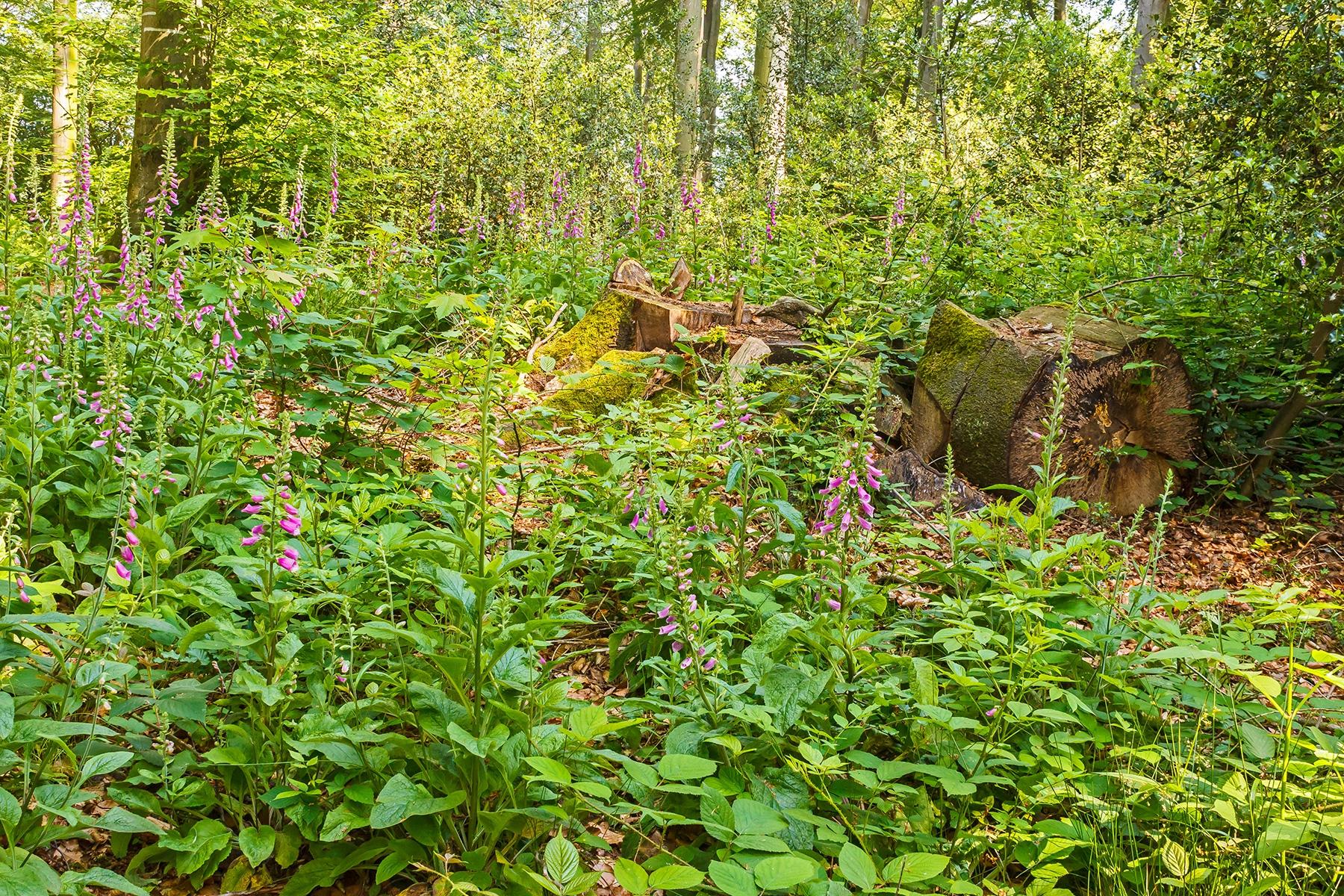 Roter Fingerhut im Schellenberger Wald