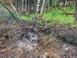 entwurzelte Birke, aufgerissener  Bodenhorizont
