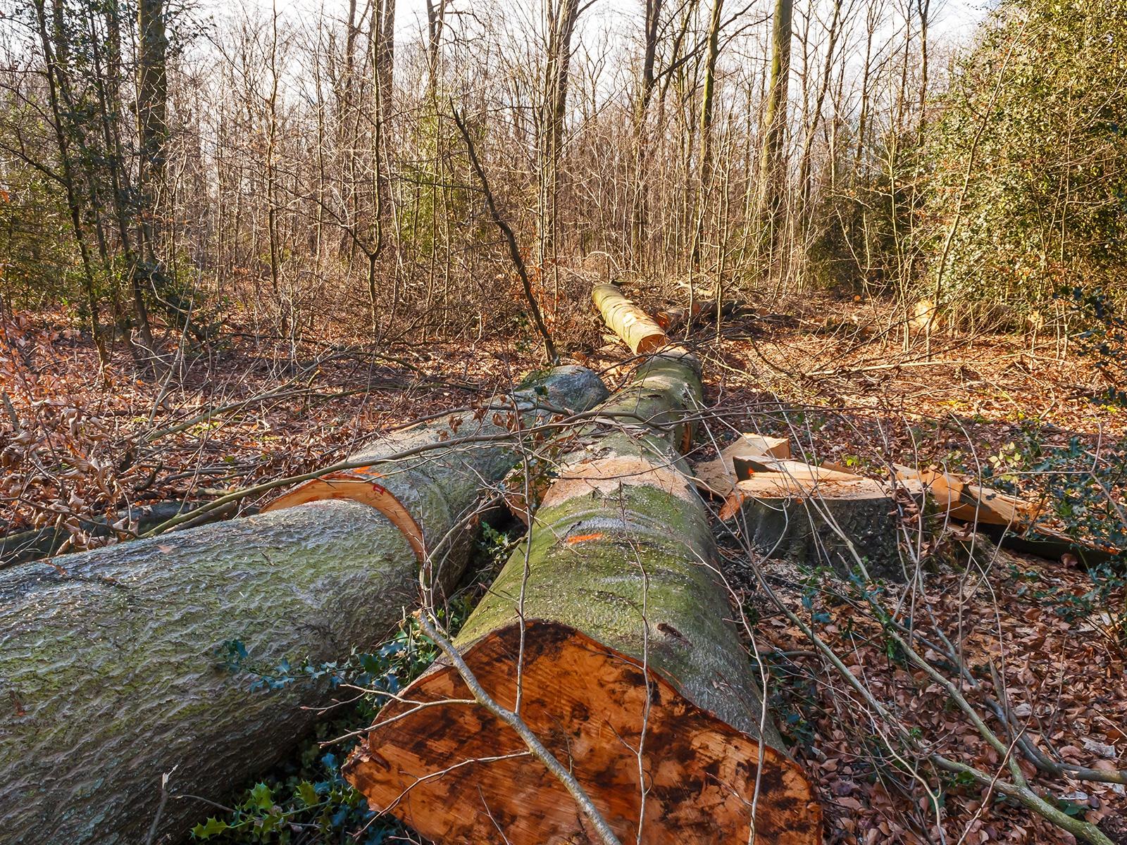 2 gefällte Altbuchen im FFH-Gebiet Köllnischer Wald