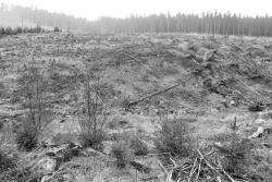 Großkahlschlag an Bremer Hütte mit künstlicher Buchenverjüngung
