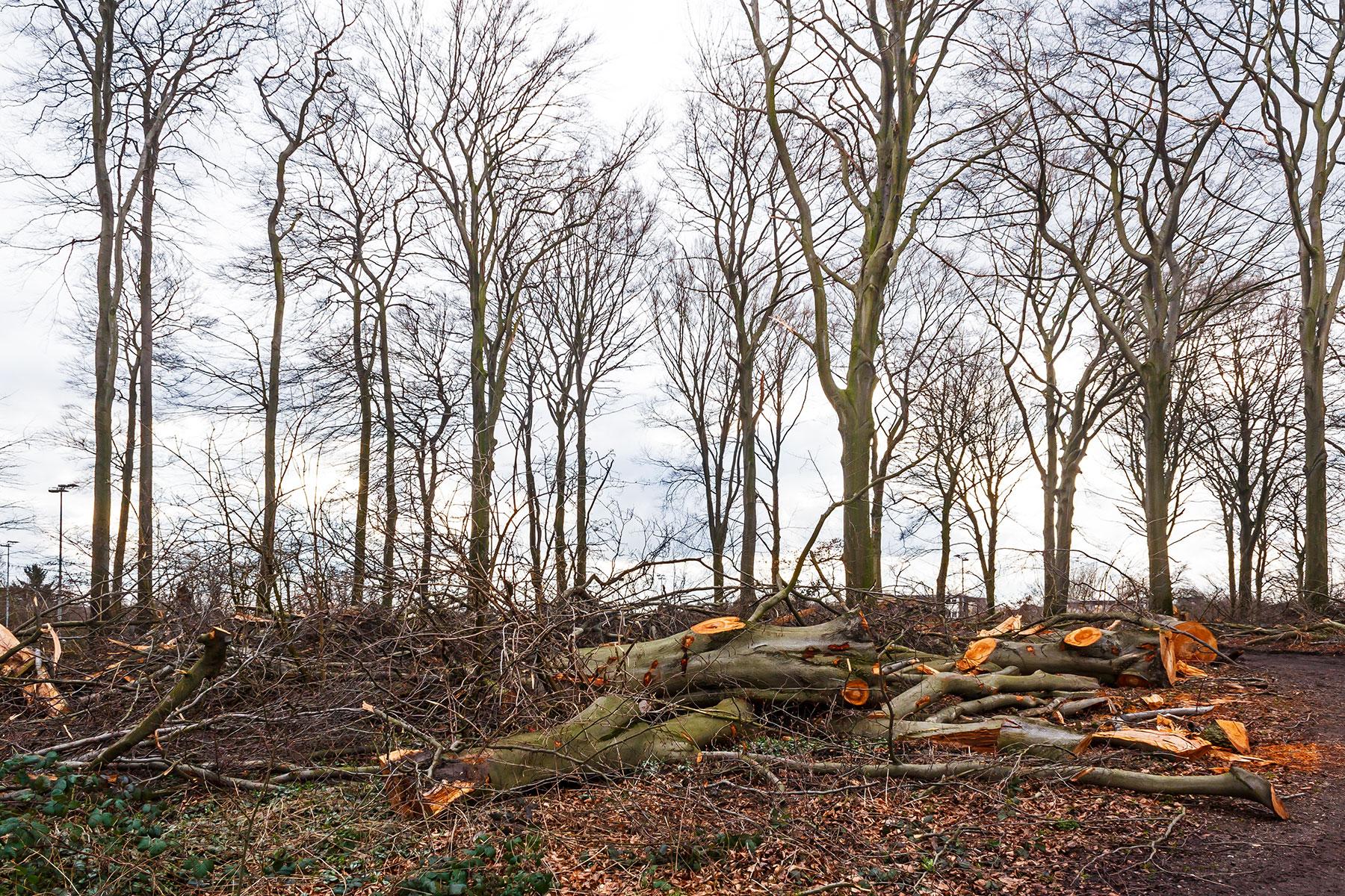 Kronenabfallholz vor Restbäumen mit Fällungsschäden