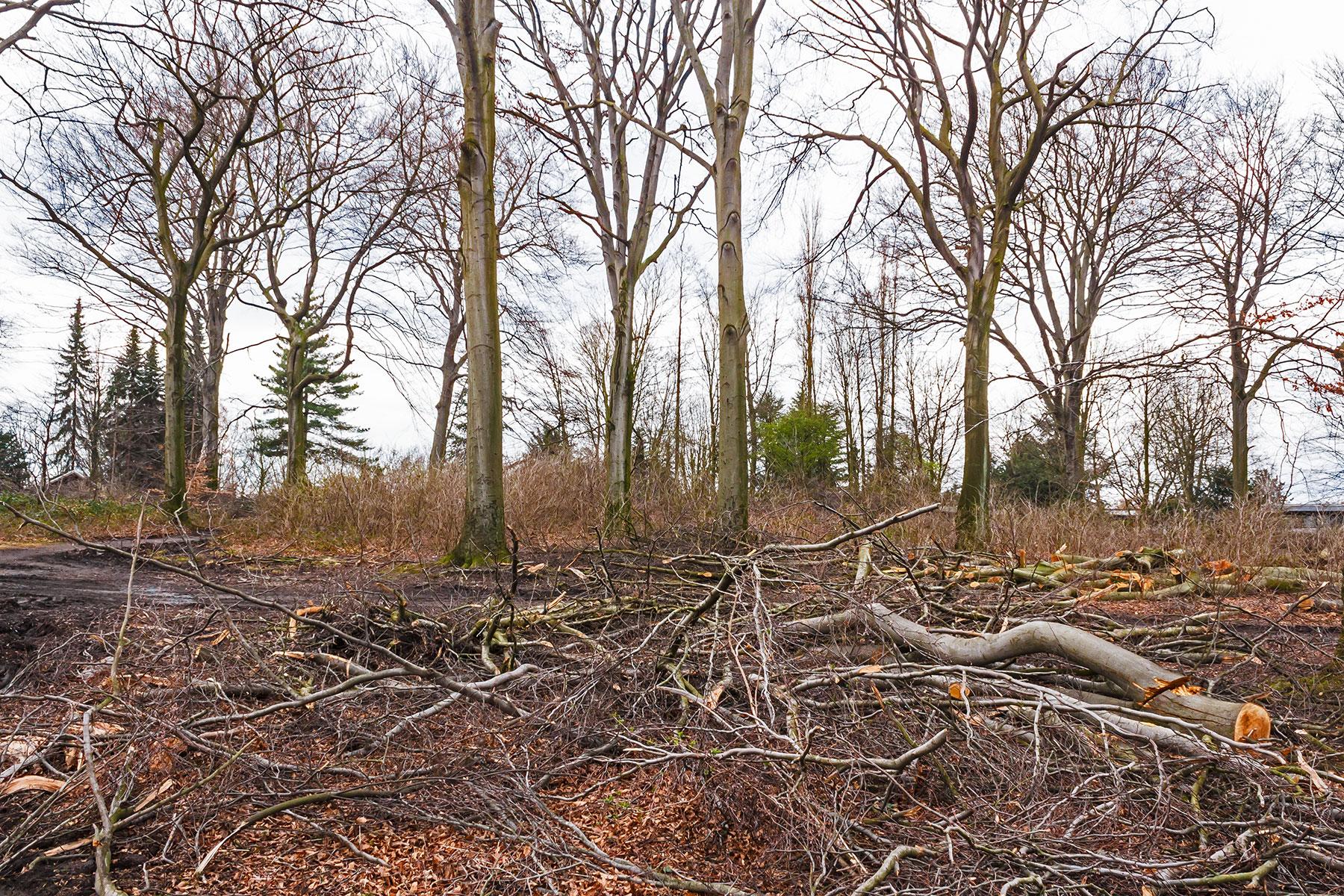 Kronenabfallholz vor Überhältern zwischen Holundersträuchern