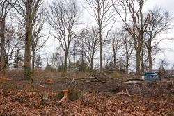 2 Altbuchenstubben und rechts ein Holztransporter von Baumgartner