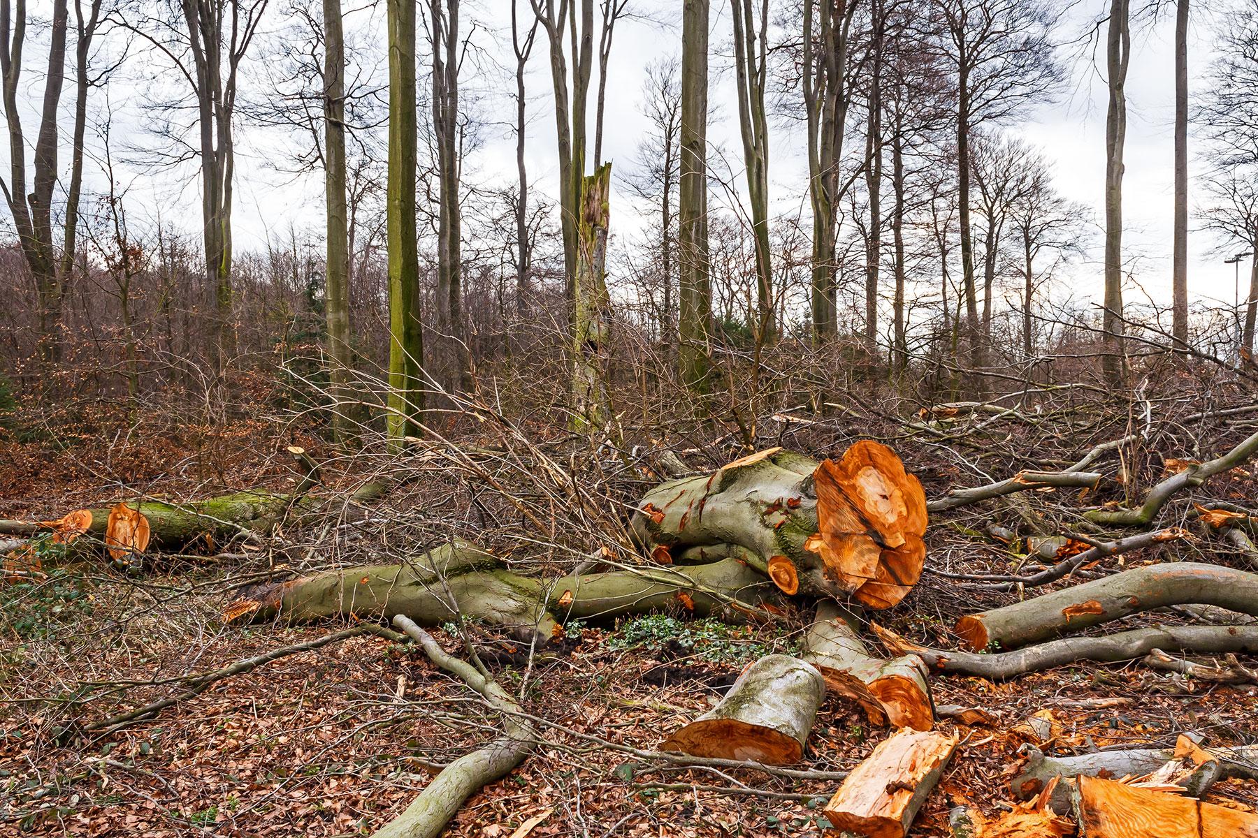 Naturschutz in Bottrop: inmitten der Verwüstung ein alter Hochstubben
