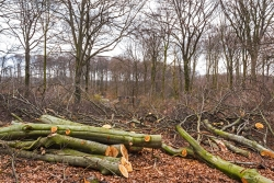 Verwandlung eines Buchenwalds in Brennholz