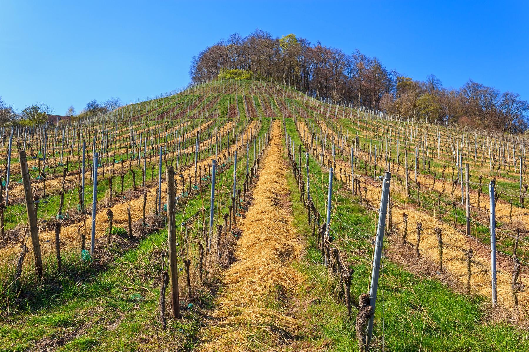 Öko-Weinbau in der Modellstadt Bottrop