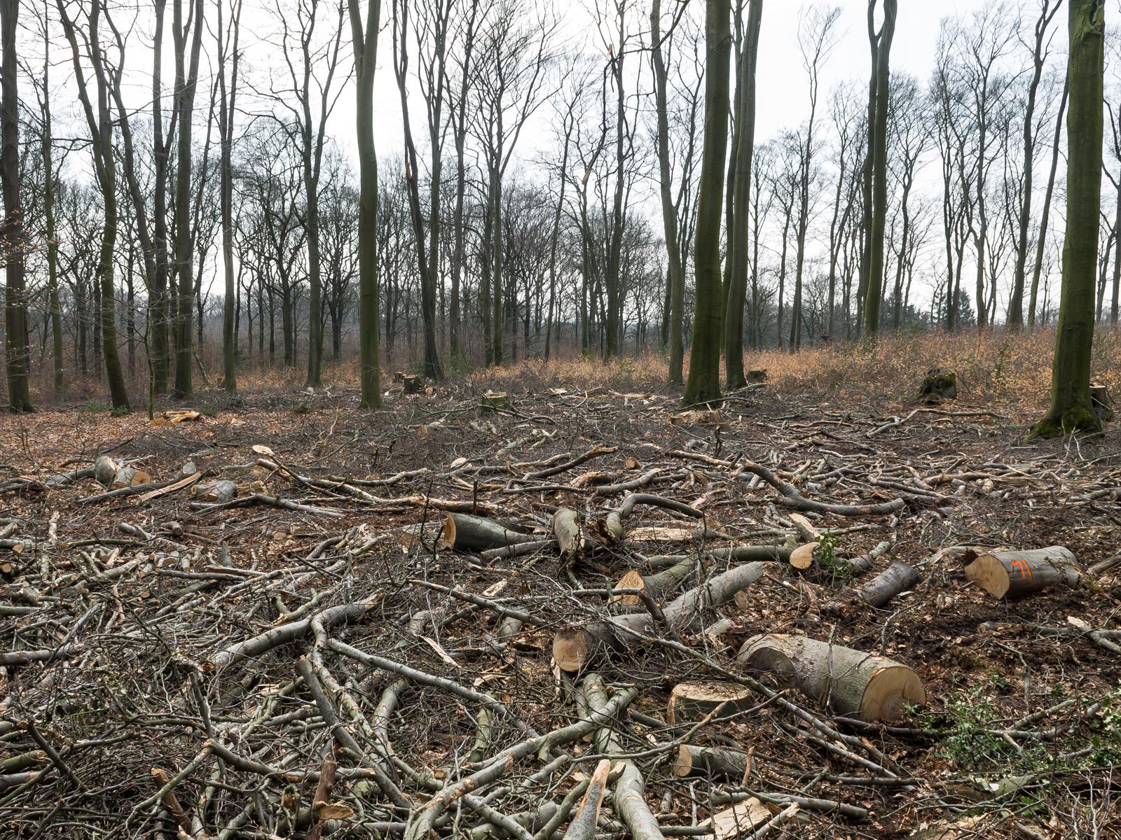 Kahlgeschlagene Fläche, 6 Baumstümpfe, aber keine jungen Buchen im Vordergrund