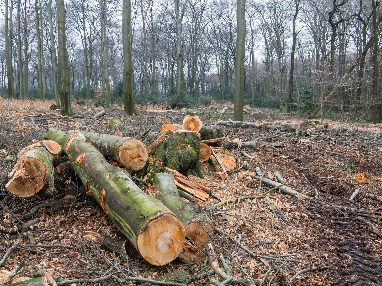 mit Baumstämmen übersäte freigeschlagene Fläche